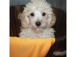 toy poodle dog male cream 2460630 pet