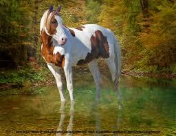 pinto horse wallpaper on hipwallpaper