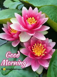 most beautiful morning lotus morning greetings morning