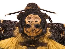 پروانهی کله مُرده (Acherontia atropos) 1