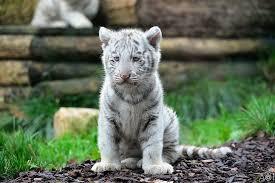 white tiger baby white tiger cub
