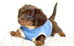 71 dachshund hd wallpapers background