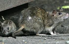 10 Most Rat-Infested Cities in the Western World