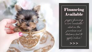toy teacup puppies teacups