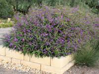 native shrubs and groundcovers