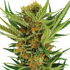 Jack Herer Seeds - High Resistance To Disease Strain | ILGM