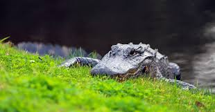 Florida Alligators Had Quite The Week Southern Living