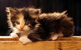 cute kitten wallpaper bobtail