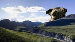 giant pug wallpaper giant pug