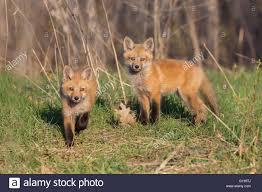 red fox family in spring stock photo