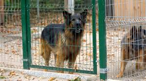 A Barking Angry Big Brown And Dangerous Dog Walks Behind A Fence The Dog Is Barking Loudly Stock Video Download Video Clip Now Istock
