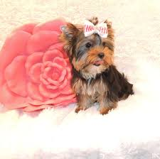 lovable toy yorkie puppy