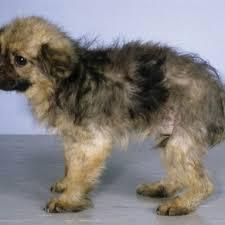 a five month old german shepherd dog