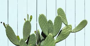 is cactus water good for you