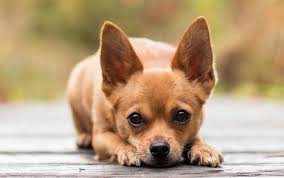 can owning a chihuahua cure asthma