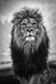 hd wallpaper iphone king lion 2020 3d