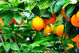 Resultado de imagen de naranjas, estudios científicos