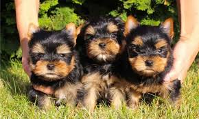 purebred tiny teacup yorkie puppies 804