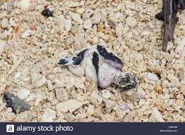 Bambino morto tartaruga sulla spiaggia su Selingan Island, Turtle ...