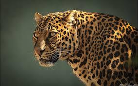 jaguar full hd wallpaper and background