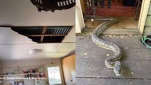 carpet pythons fell through the ceiling