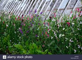 Plant Climbing Frame High Resolution Stock Photography And Images Alamy