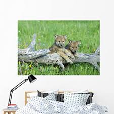 Amazon Com Wallmonkeys Playful Gray Wolf Cubs Wall Mural Peel And Stick Graphic 60 In W X 40 In H Wm227932 Furniture Decor