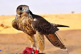 اجمل صور نسور و صقور في عالم النسر Eagle Hi4