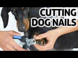 dog nails with clippers or nail cutters
