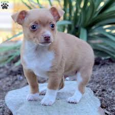 buster toy fox terrier puppy