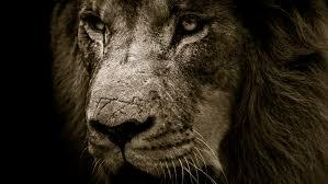 african lion face 4k uhd wallpaper