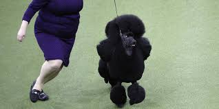 siba the standard poodle wins best in
