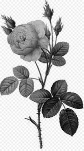 موس روز وردة بيضاء من نيويورك حديقة الورود صورة بابوا نيو غينيا