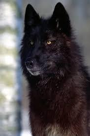 black wolf iphone 4 wallpaper 640x960