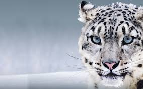 snow leopard wallpaper s