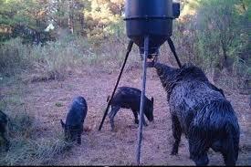 hog eating out of feeder la goin