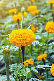 grow and care for marigolds