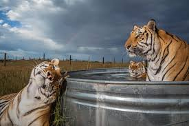 Captive Tigers In The U S Outnumber Those In The Wild It S A Problem