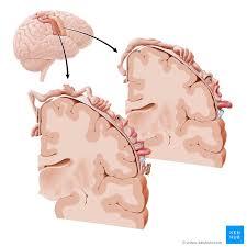 parietal lobe anatomy and function