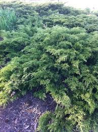 juniperus sabina calgary carpet