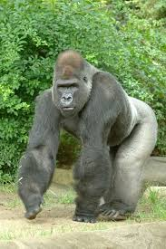 How strong is a full grown silverback male gorilla who would win a fight, a  man or the silverback gorilla? - Quora