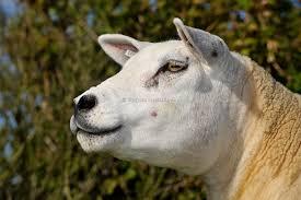 Texel sheep ...