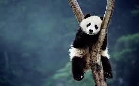 cute panda wallpaper 1920x1200 46008