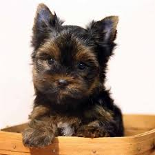toys for yorkie puppies