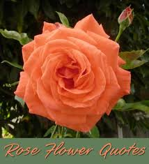 beautiful quotes about the rose flower holidappy