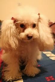 teacup poodle dog breed information and