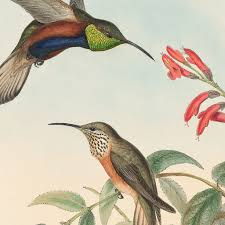 Gould Hummingbirds, Pl. 73, Adela's Hill-Star | Joel Oppenheimer, Inc.