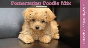 pomeranian poodle mix pomapoo puppies