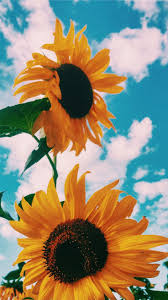sky petal yellow sunflower