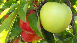 apple tree wallpaper for pc full hd